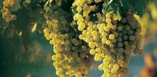 A szépítő fehér szőlő