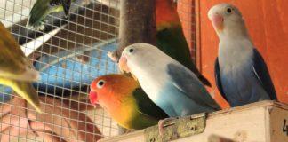 Papagájok, nimfák, vadlibák